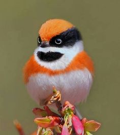 The Black-throated tit (Aegithalos concinnus), also known as the Red-headed tit or bushtit, resides in China and Taiwan and south to Laos.