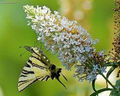 Een leuke vlinder om te fotograferen.