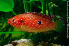 """Red Jewel Cichlids: Photo des Tages - Hemichromis guttatus """"Cotonou"""""""
