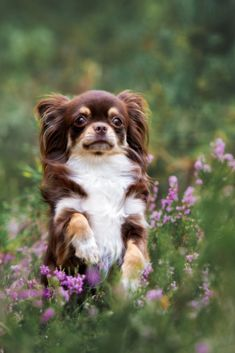 Tips And Tricks For Training Your Dog Brown Chihuahua, Chihuahua Puppies, Dog Poses, Terrier Mix, Shelter Dogs, Yorkshire Terrier, Beautiful Cats, Best Dogs, Your Dog