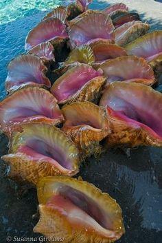 Conch shells by Sirkka