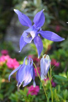 Flora Alpina delle Alpi Occidentali