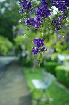 20140816【第二天:金露花】 中興新村的人似乎都很熱中園藝,常能看到照顧得很好的花草盆栽植樹門,也因此,小小一條路我可以走好久好久~拍下好多好多風景~