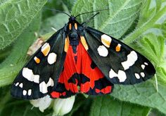 Scarlet Tiger moth - caterpillars found on comfrey at allotment.