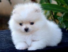 Have a fluffy monday! Cute Teacup Puppies, Cute Baby Puppies, Super Cute Puppies, Cute Dogs, Dogs And Puppies, Spitz Puppy, Spitz Pomeranian, Cute Pomeranian, Pomeranians