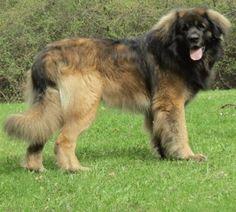 13 LEONBERGER Puppies GEBOREN – Puppy te Koop