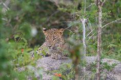 Sri Lankan leopard - Panthera pardus kotiya | This picture was taken in Yala National Park- Sri Lanka