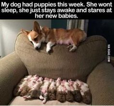 corgie laying32 Of The Funniest Animal Pictures Out Therewith her puppies on the Great)