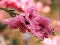 Sakura - japán cseresznyevirág