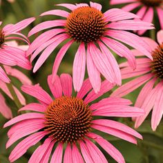 Coneflower (Echinacea) ~ my fave in the butterfly garden, these guys are virtually indestructible