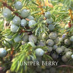 Medicinal preparations include the extract of juniper berry, as well as the essential oil. Juniper is used for digestion problems,  upset stomach, flatulence, heartburn, bloating, and loss of appetite, as well as GI infections and intestinal worms. It is also used for urinary tract infections, kidney and bladder stones.