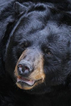 Rustic ~ Redneck, theanimaleffect: Black Bear by Mark Dumont on...