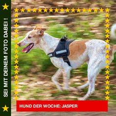 Podenco-Mix Jasper Die vermutlich schnellste Schmusebacke der Welt…  #Hund: Jasper / Rasse: #Podenco-Mix      Mehr Fotos: https://magazin.dogs-2-love.com/hund-der-woche/podenco-mix-jasper/ Foto, Gassi gehen, Hund, Natur