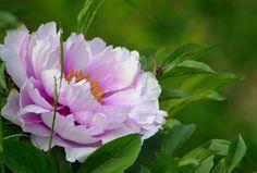 Pink White peony by SvitakovaEva.