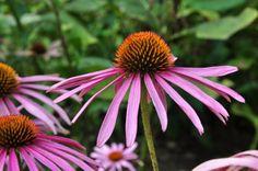 Kouzelné bylinky - Třapatka nachová Nachos, Plants, Herbs, Garten, Planters, Plant, Planting
