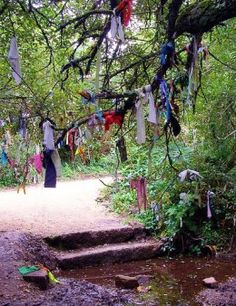 Offerings of ribbon decorate a Fairy Wishing Tree  near Madron Well, Cornwall.