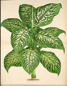 113802 Dieffenbachia seguine (Jacq.) Schott [as Dieffenbachia magnifica Linden & Rodigas]  / L' Illustration horticole, vol. 30: t. 491 (1883) [not visible]