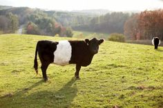 Dutch belted cow