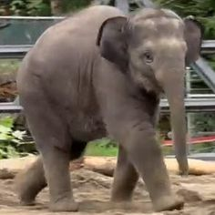 It's Lily the elephant's birthday, and, my, how she's grown. Weighing 300 pounds at her birth at the Oregon Zoo, Lily now tips the scales at but that's not the only way she's outsized. You Are Cute, Elephant Design, African Elephant, Our World, Baby Elephant, Funny Cute, Viral Videos, Elephants, Mammals
