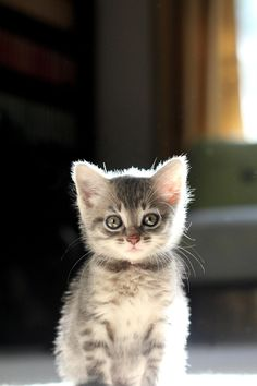 """** """"Stops waitin' fer yer life's love.Goes and seek em outz. De idiot mightz be stuck in a tree or somethin'. Kittens And Puppies, Baby Kittens, Cute Cats And Kittens, I Love Cats, Kittens Cutest, Beautiful Cats, Animals Beautiful, Domestic Cat, Cute Baby Animals"""