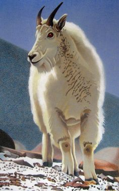 Impression Evergreen: Rocky Mountain Goat - Colored Pencil Drawing