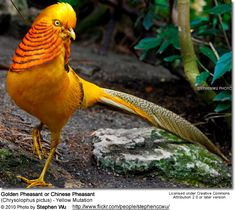 Types Of Birds | These pheasants are extremely compatible with other types of birds ...