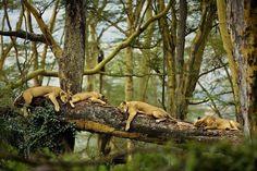 Львы отдыхают на дереве на озере Накуру, Кения