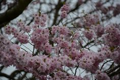 Pink Blossom 70/365