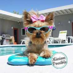 Terrier Breeds, Terrier Dogs, Dog Pool Floats, Cute Little Puppies, Yorkshire Terrier Dog, Yorkie Puppy, Surf Girls, Cute Baby Animals, Dog Mom