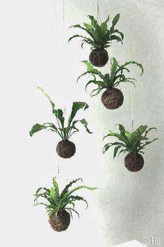 Unique kokedama samambaia Ball Ideas for Hanging Garden Plants selber machen ball Ikebana, Air Plants, Garden Plants, Indoor Plants, House Plants Decor, Plant Decor, Hanging Ferns, Types Of Houseplants, String Garden