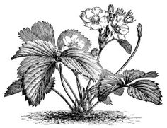 strawberry plant illustration, botanical clip art, vintage berry garden graphics, black and white clipart, flowering strawberry image