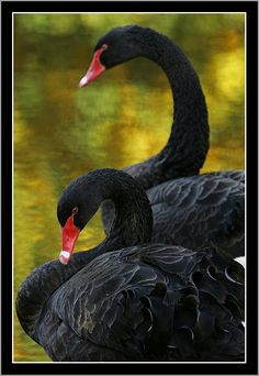 Black Swans through the eyes of lukasfoto Beautiful Swan, Beautiful Birds, Animals Beautiful, Exotic Birds, Colorful Birds, Foto Flamingo, Black Swan Bird, Australian Birds, All Gods Creatures