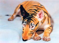 #Bull #Terrier - Tiger-Style Body-art