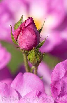 "Rosa ""Escapade"" - Rose"