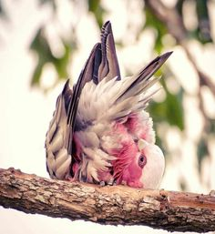 Preening Galah Australian Bush, Birds, Animals, Animales, Animaux, Bird, Animal, Animais