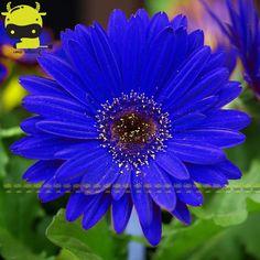 GERBERA MODRA - Filip Kindl - Google+ Gerbera, Short Hairstyles For Women, Short Hair Styles, Daisy, Garden, Plants, Google, Blue, Bob Styles