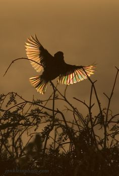 song sparrow in flight images - Google Search