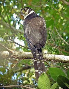 Collared Forest-Falcon, Mexico