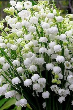 Lily of the Valley Flowers Exotic Flowers, Amazing Flowers, Fresh Flowers, Spring Flowers, White Flowers, Beautiful Flowers, Flowers Perennials, Planting Flowers, Flowers Garden