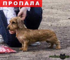 Пропала собака такса кроличья жесткошерстная г.Пушкино http://poiskzoo.ru/board/read24267.html  POISKZOO.RU/24267 Пропала собака .. в Пушкино. Кроличья жесткошерстная такса. На шее был одет зелёный ошейник. Кличка Симка. В паху клеймо: IZI… Случайно убежала из квартиры в микрорайне Дзержинец рядом с .. домом. Добрая и ласковая. Нашедшему гарантируется вознаграждение. Просьба позвонить по телефону: ... Анастасия.   РЕПОСТ! @POISKZOO2 #POISKZOO.RU #Пропала #собака #Пропала_собака…