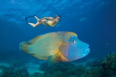 The Maori wrasse, also known as Napoleon or Humpheaded wrasse, is the largest species in the wrasse family. They can grow to more than six feet long and weigh nearly 400 pounds. That's a big ol' fish. Extinct Animals, Rare Animals, Colorful Fish, Tropical Fish, Great Barrier Reef Tauchen, Marine Reserves, African Cichlids, Ocean Creatures, Maori