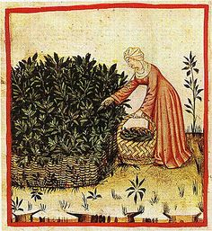 Harvesting sage contained by a wattle fence (it would spread). Notice her wide woven basket.