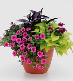 Persian shield, purple verbena, lime sweet potato, pink petunia, violet ageratum - About Garden and Flowers Container Flowers, Flower Planters, Container Plants, Container Gardening, Gardening Tips, Outdoor Flowers, Outdoor Plants, Lawn And Garden, Garden Pots