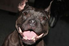 Gremlin the Thera-Pit - After being rescued from a dog-fighting ring, this special pit bull now visits children in schools and hospitals