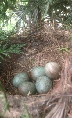Nest in mijn heg  4 boys 1 girl ??