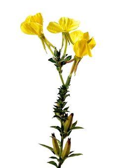 Ismerd meg a ligetszépét. Tabu, Plants, Plant, Planets