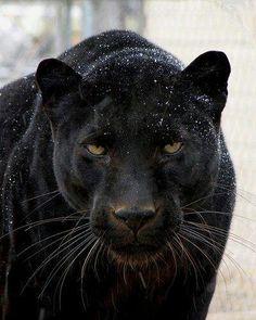 Black Panther*