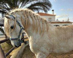 Pura Raza Española stallion Don Doblete.