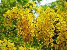 Golden Shower Tree Seed Bean Pods, Tree Seeds, Organic Seeds, Flowering Trees, Flowers Nature, Herbal Medicine, Yellow Flowers, Southeast Asia, Herbalism
