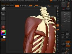 Anatomy in ZBrush 4  http://www.zbrushworkshops.com/